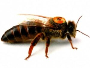 пчеломатки 2021